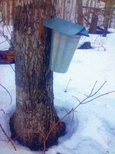 Maple Syrup 2015